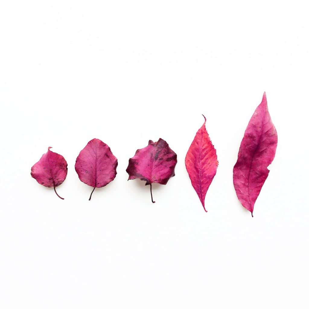 Creative edit: five pink fall leaves on a white background.